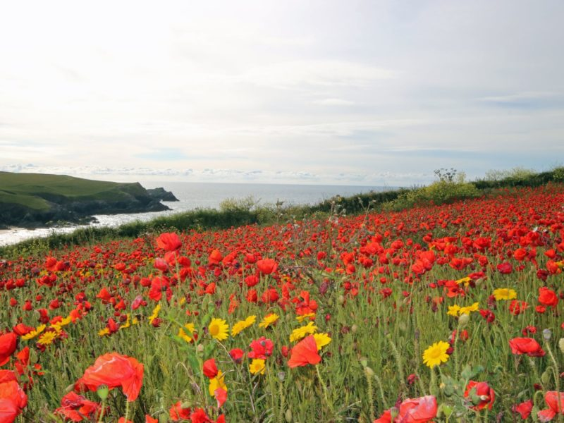 Poppy fields near cottages holywell bay - Cottages Holywell Bay